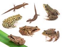 Anfibios y reptiles aislados en blanco Imágenes de archivo libres de regalías
