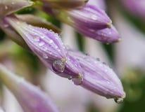 Anfitriões das flores dos botões nos pingos de chuva Fotografia de Stock