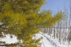 Angara pine stock image