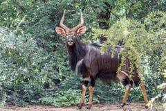 Angasii do Tragelaphus do Nyala Fotografia de Stock Royalty Free