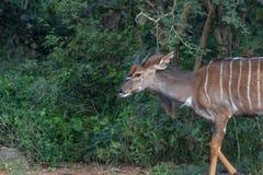 Angasii do Tragelaphus do Nyala Fotografia de Stock