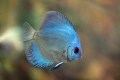 Ange bleu superbe de disque Photographie stock libre de droits
