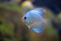 Ange bleu superbe de disque Photographie stock