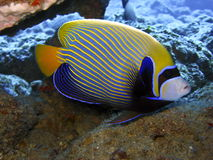 Ange empereur Emperor angelfish Royalty Free Stock Photography