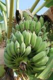 angebaute Banane lizenzfreie stockfotos