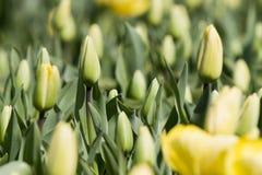 Angebaute Tulpen im Fühler Lizenzfreie Stockbilder