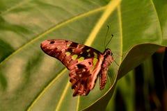 Angebundenes Jay-Schmetterlingsporträt. Stockbild