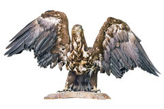 Angefüllter Adler Stockfoto
