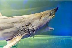 Angefüllter junger Haifisch mit den großen Zähnen und geöffnetem Mund stockfoto