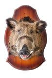 Angefüllter Kopf des wilden Ebers Stockfotografie