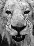 Angefüllter Löwe Stockfotos