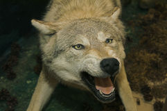 Angefüllter Wolf Stockbild