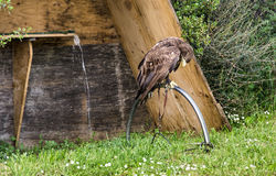 Angekettetes Eagle Stockfotografie