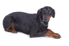 Angelägen dobermannhund Arkivfoto
