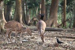 Angelägna hjortar och auktoritativa hjortar som söker efter deras mat Arkivfoton