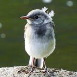 Angel bird. A young fluffy bird Stock Photo