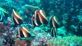 Angel butterfly fish on background of clear seabed underwater of Maldives. stock video