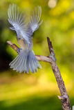 Angel Chickadee. A black-capped chickadee (Parus carolinensis) in motion landing on a branch Royalty Free Stock Photo