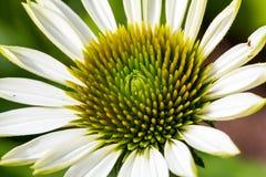 Angel Coneflower Up Close perfumado Imagens de Stock Royalty Free