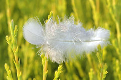 Angel feather. Single white feather on green plant shoots Royalty Free Stock Photos