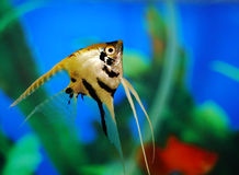 Angel fish. In an aquarium, green plants blue background Royalty Free Stock Image