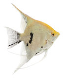 Angel Fish Stock Photo