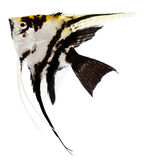 Angel Fish. Isolated in white background stock photo