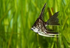 Angel fish Royalty Free Stock Photo