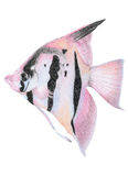 Angel Fish Royalty Free Stock Photography