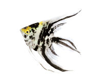 Angel fish Royalty Free Stock Photos