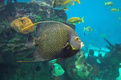 Angel fish. Colorful angelfish in an aquarium Stock Images