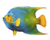 Angel fish  Royalty Free Stock Photos