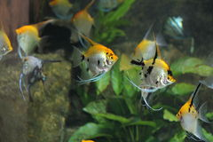 Angel Fish. Swimming in an aquarium stock photos