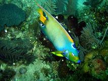 Angel fish stock photography