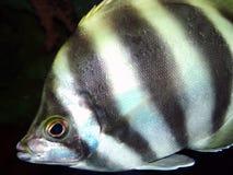 Angel Fish. A cloeup of an angel fish Stock Photo