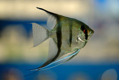 Angel fish Royalty Free Stock Images