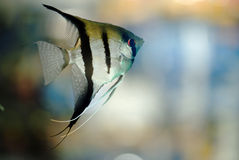 Angel fish. In aquarium water Stock Photography