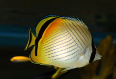 Angel fish. Portrait of nice stripped angelfish in an aquarium Royalty Free Stock Photo