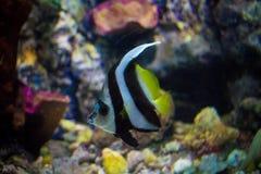 Butterflyfish. In aquarium Royalty Free Stock Photos