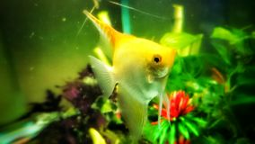 Angel fish in aquarium. Beautiful Angel fish in aquarium Royalty Free Stock Images