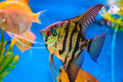 Angel fish in an aquarium. Royalty Free Stock Photos