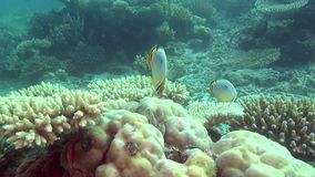 Angel fish on background of clear seabed underwater of Maldives. stock footage
