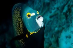 Angel fish Bonaire. Facing up. angry look royalty free stock photography
