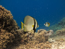 Angel Fish on Great Barrier Reef Australia Royalty Free Stock Photography