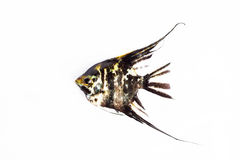 Angel Fish in isolate on white. Stock Photography