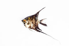 Angel Fish in isolate on white. Royalty Free Stock Photo