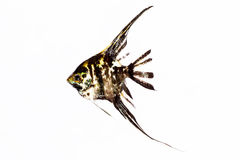 Angel Fish in isolate on white. Royalty Free Stock Images
