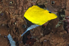 Angel fish looking at you Stock Photography