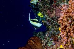 Angel fish looking at you Royalty Free Stock Photography