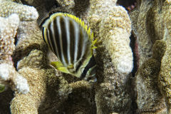 Angel fish looking at you Stock Images